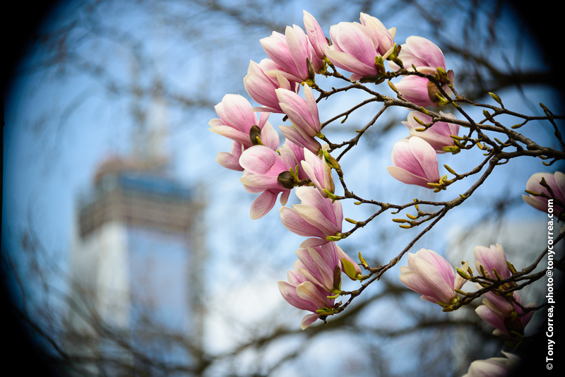 Spring time Magnolias and One WTC rising in the background.